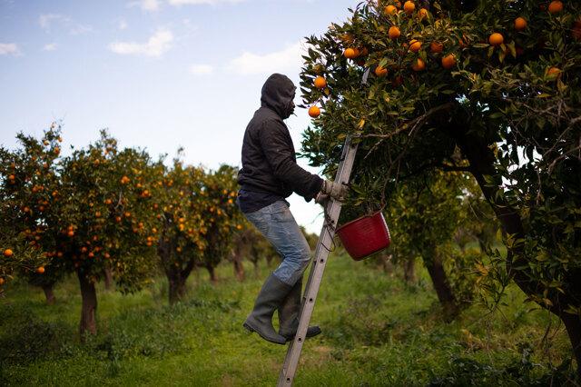 L'epidemia lascia l'agricoltura italiana senza lavoratori